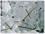 ice study x