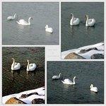 swan panel